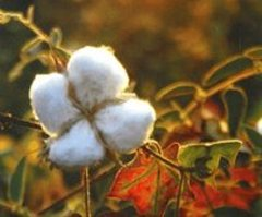 Organic Cotton Boll Ready for Harvesting